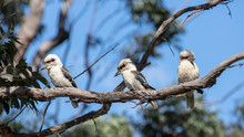 Laughing Kookaburra's Perched ...