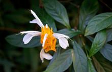 Golden Shrimp Plant Flower (Pa...