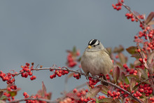 White Crowned Sparrow On Coffee Berry Bush In Northern California
