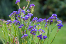 Selective Focus Shot Of A Flowering Plant Called Sea-Lavender In A Field