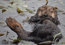 A Young Sea Otter (Enhydra Lutris) Frolics In The Kelp Along The Edge Of Elkhorn Slough In Moss Landing, California