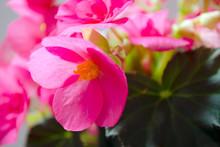 Bright Pink Cucullata Begonia ...