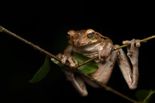 Common Mexican Tree Frog On Br...