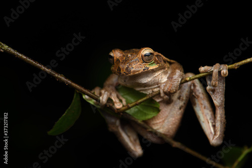 Valokuva Common Mexican tree frog on branch black background