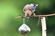 The Eurasian Jay Watching On ...