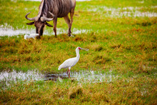 Yellow-billed Stork Ibis Birds Also Called The Wood Storks With Wild Beast On Background In Kenyan Natural Environment