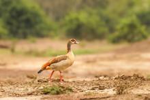 Egyptian Nile Goose (Alopochen...