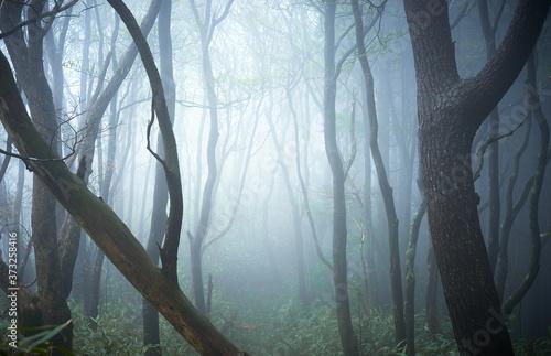 幻想的な森林の風景。霧や霞の立ち込めた樹海。ファンタジーのイメージ。お化けの出てきそうな怪しい森。 Canvas Print