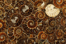 Pattern Of Fossilized Ammonites - Ancient Molluscs Of The Order Cephalopods