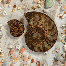 A Couple Of Fossilized Ammonites - Ancient Molluscs Of The Order Cephalopods