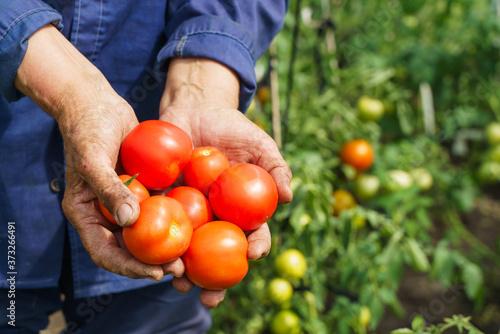 Fototapeta The farmer's hands are holding tomatoes