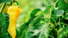 Yellow Bell Pepper Grows In Th...