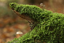 Small Beige Forest Mushrooms I...