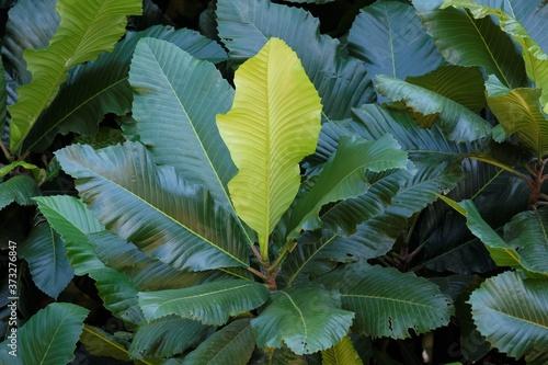Fototapeta Magnolia sulawesiana is a large evergreen tree of the family Magnoliaceae that g