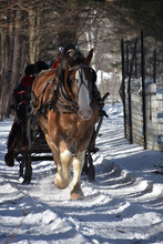 Draught Horse Pulling A Sleigh In The Snow