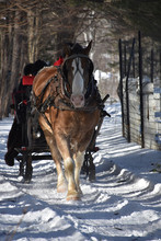 Draught Horse In The Winter Pulling A Sleigh