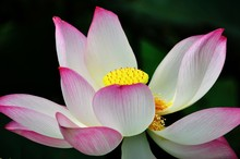 Lotus Is The Water Plant. It Has Broad Floating Leaves And Bright Fragrant Flowers. The Leaves And Flowers Float And Have Long Stems That Contain Air Spaces. It Has Many Petals Overlapping In The Symm