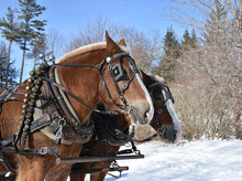 Tacked And Harnessed Draft Horses In The Snow