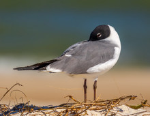 Resting Laughing Gull