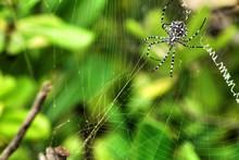 Argiope Lobata Spider In The Garden
