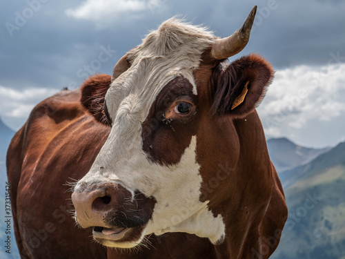 Photo Photographie Vache d'Abondance Alpes
