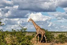 Giraffe Male Walking In Mashat...
