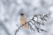 canvas print picture - Beautiful and cute bird, Siberian jay, Perisoreus infaustus,  sitting on an old branch on snowy winter day in Kuusamo, Finland, Northern Europe