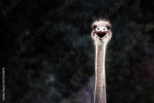 Cuadros en Lienzo Smiling ostrich protrait against dark background
