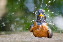A Robin Having A Bath In A Public Pool During  A Hot Summer Day