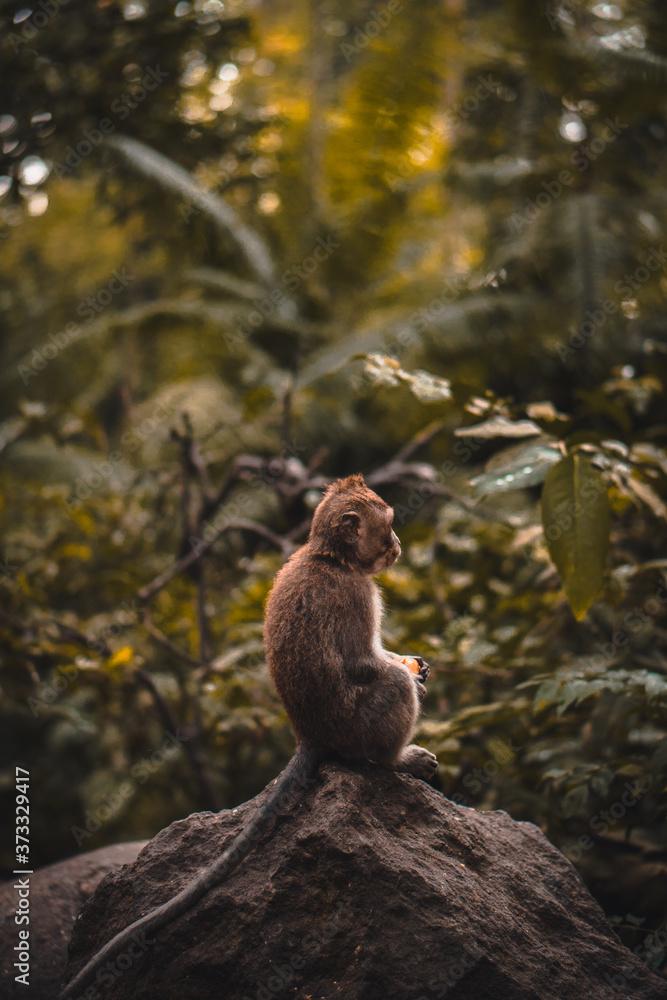 Fototapeta Cute Macaque monkey eating a fruit