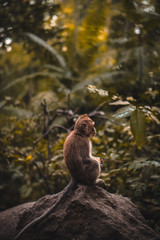 Cute Macaque monkey eating a fruit