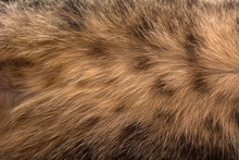 Cat Fur Texture. Brown Young C...