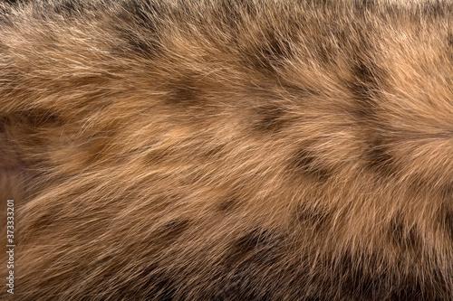Cat fur texture. Brown young cat. Fototapet