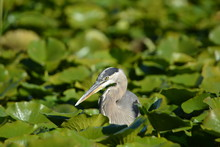 Close Up Of A Great Blue Heron