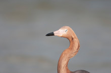 Reddish Egret In Florida Marsh