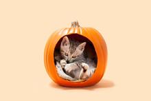 Gray Tabby Kitten Inside Of A Large Carved Out Halloween Orange Pumpkin, Orange Background.
