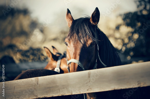 Slika na platnu Sports horse of  bay color in a halter.