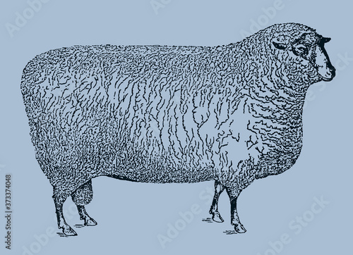 Fotomural Southdown sheep ram in side view isolated on a blue background, after an antique illustration from the 19th century