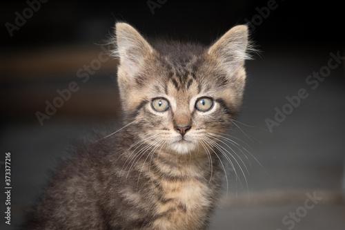 Fotografie, Obraz Portrait of cute tabby kitten