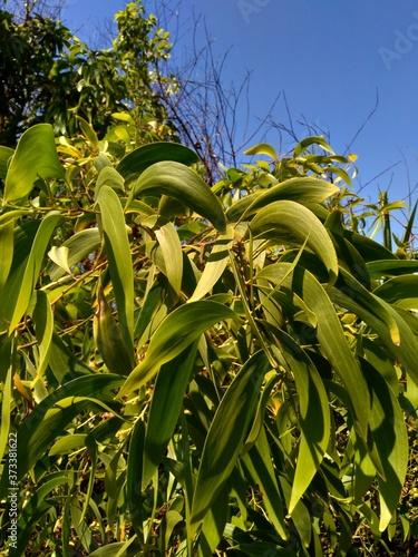 Valokuvatapetti Acacia aneura (also called mulga, true mulga, akasia) with a natural background