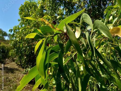 Valokuva Acacia aneura (also called mulga, true mulga, akasia) with a natural background