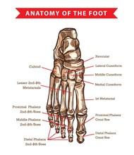Human Foot Bones Anatomy Sketch Design Of Vector Orthopedics Medicine. Skeleton Leg Ankle Joints And Toe Phalanges, Cuboid, Metatarsal, Navicular And Cuneiform Bones, Hand Drawn Dorsal View Of Foot