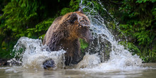 Wild Adult Brown Bear (Ursus A...
