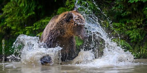 Photographie Wild adult Brown Bear (Ursus Arctos) splashing in the forest lake