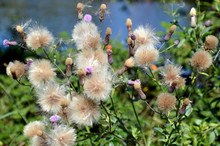 Fluffy Seed Heads Of Cirsium A...