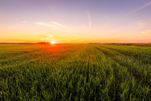Sunset Or Sunrise In An Agricu...