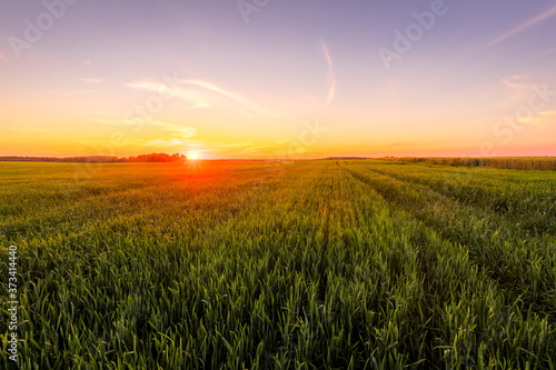 Fotografie, Tablou Sunset or sunrise in an agricultural field with ears of young green rye and a path through it on a sunny day