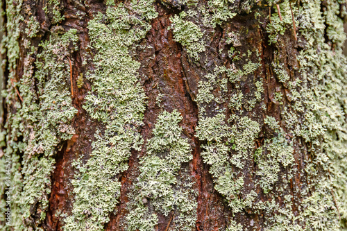 The trunk of an old tree, covered with lichen and moss Canvas Print