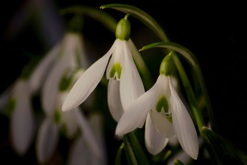 Obraz na Szkle Do sypialni Snowdrops on black background
