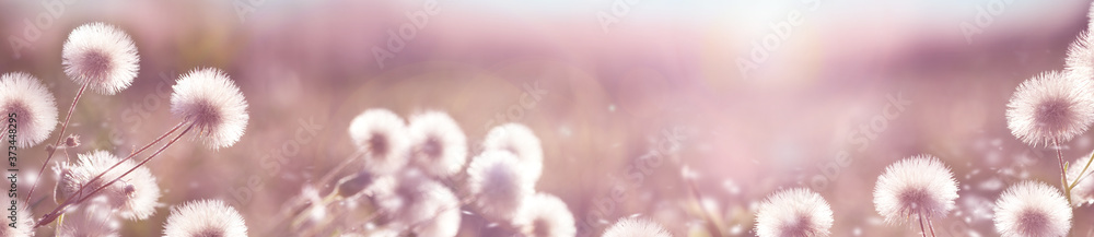 Fototapeta Blurred natural background. Delicate natural background in pastel colors with a soft pink accent. Flowers with fluffy seeds.